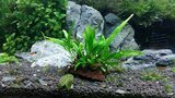 Luffy Pets Collection Coco Philippines Java Fern